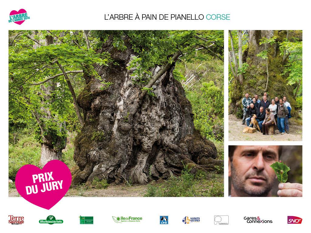 L'Arbre à Pain de Pianello en Corse