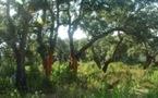 Présentation de la forêt en Corse