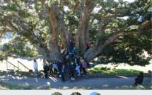 Votez pour le Chêne-Vert d'Olmi-Cappella pour l'Arbre de l'Année 2015